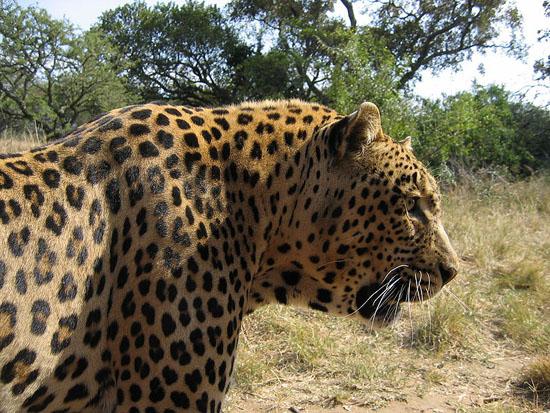 -Leopard-Kruger-SouthAfrica-2005