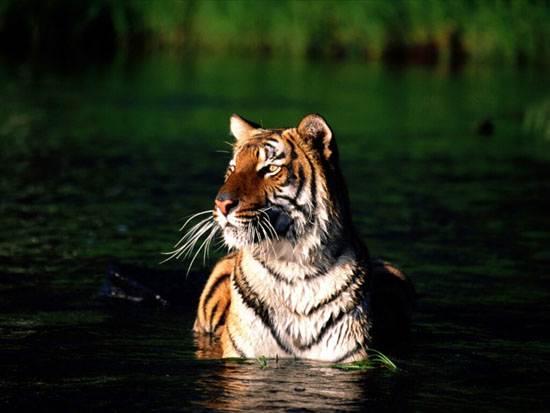 taking-a-dip-bengal-tiger