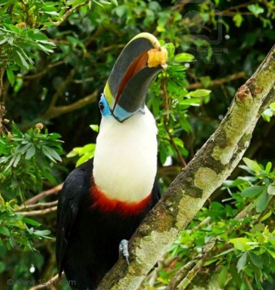 a-white-throated-toucan-photographed-in-the-amazon-rainforest-in-ecuador-he-is-eating-banana
