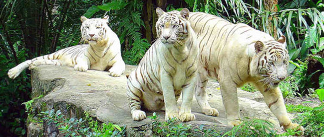 visit-white-tigers-in-sin-7035 - Copy