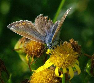 Female Common Blue - Copy