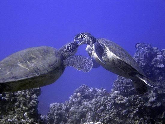 maui-hawaii-sea-turtles-diving-jared-kelly