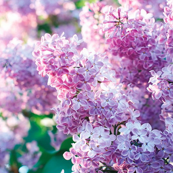 Spring Lilac