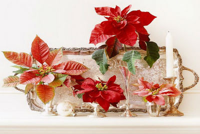 Decorate Christmas with 45 ideas poinsettias the holidays' most loved plant