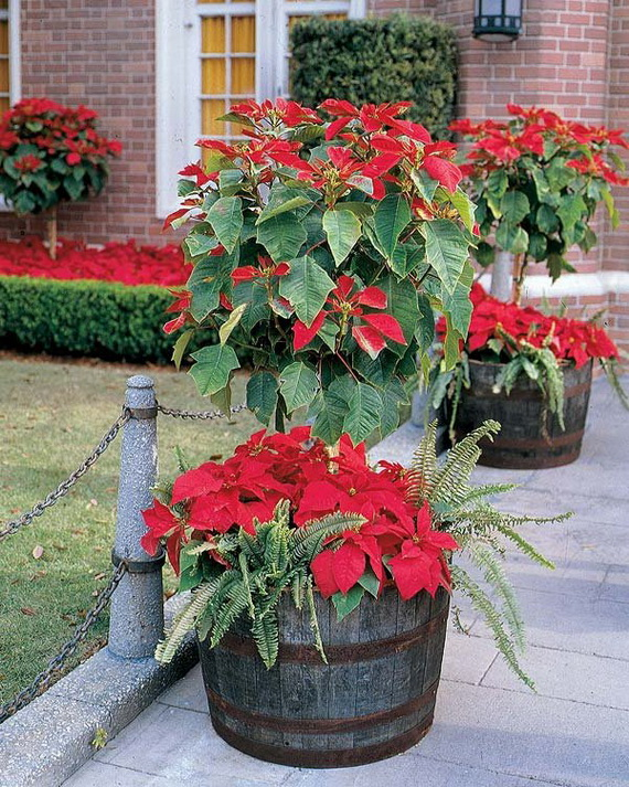 Decorate Christmas with 45 ideas poinsettias the holidays' most loved plant_35