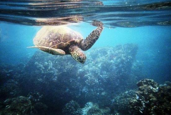 turtle-cove-maui-hawaii-turtles