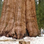 Traveling to California  General Sherman  Biggest Tree in the World