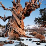 Traveling to California The Methuselah Tree The Oldest Tree in the World