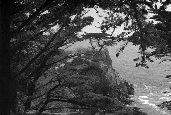 most-unique-trees-in-the-world-loen-cypress-monterey-4
