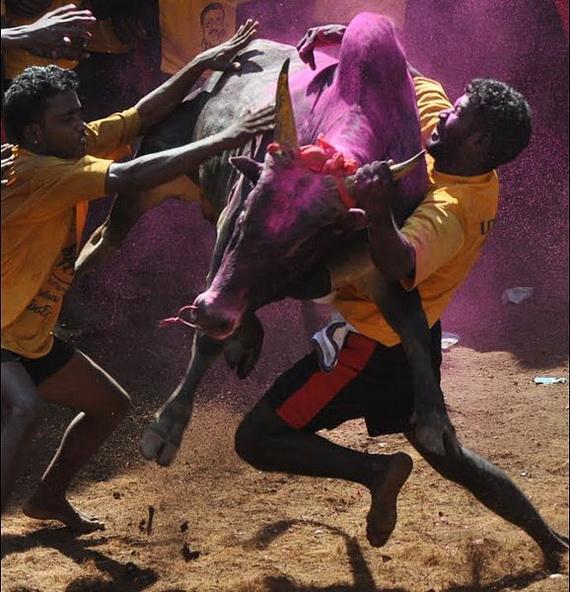 Pongal – Celebrating the Indian Harvest Festival_10