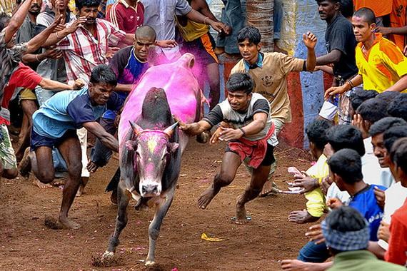 Pongal – Celebrating the Indian Harvest Festival_18