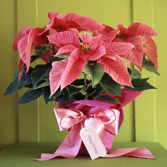 Decorate Christmas with 45 ideas poinsettias the holidays' most loved plant_20