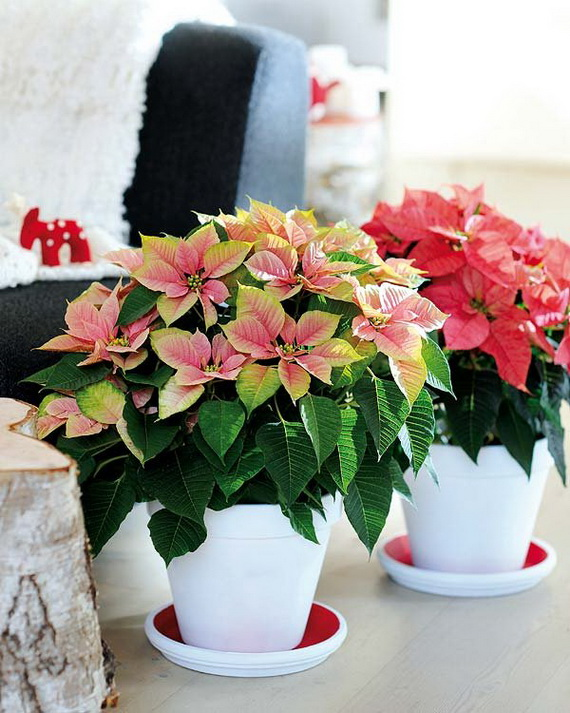 Decorate Christmas with 45 ideas poinsettias the holidays' most loved plant_30