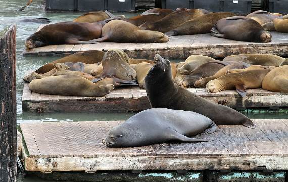 sealions_on_pier_39_sf_ca1
